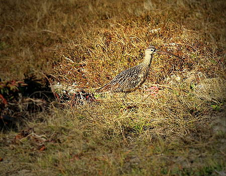Long Billed Curlew In Full Camo by Joyce Dickens