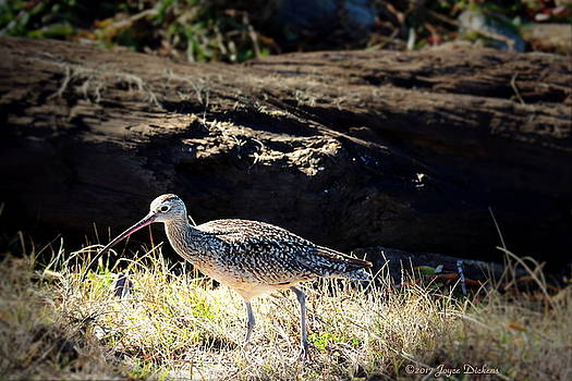 Long Billed Curlew by Joyce Dickens