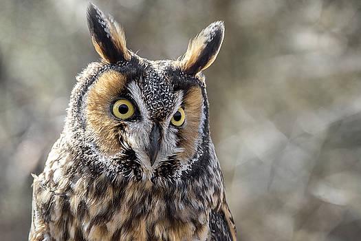 Long Eared Owl by Angie Rea