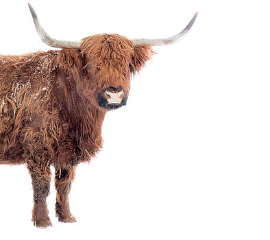 Long hair bizon by Nick Mares
