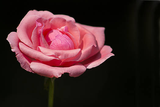 Long-Stemmed Rose by Mark Michel