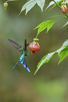 Long-tailed Sylph in Ecuador by Juan Carlos Vindas