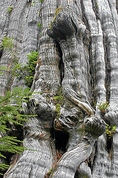 Christine Till - Long Views - Giant Western Red Cedar Olympic National Park WA