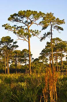 Longleaf Pines, sunrise, Myakka State Forest by John Myers