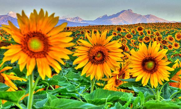 Longs Sunflowers by Scott Mahon