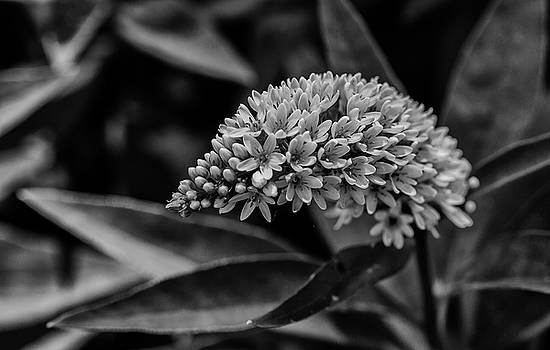 Loosestrife - Black and White by Greg Thiemeyer