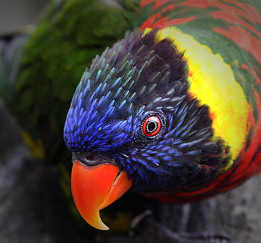 Lorikeet Closeup by Brian M Lumley