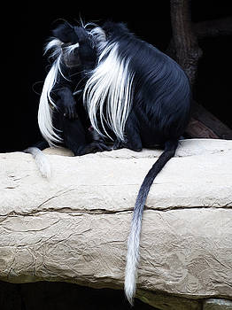 Lost in Cuddling - Black and white colobus monkeys  by Penny Lisowski