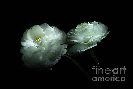 Lost in the Shadows Two White Ranunculus Flowers by Ann Garrett