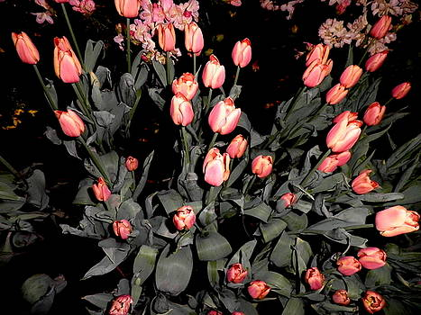 Kate Gallagher - Lots Of Tulips