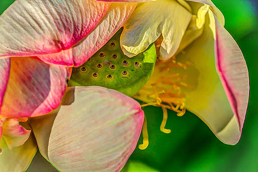 Lotus As I See It by Jerri Moon Cantone