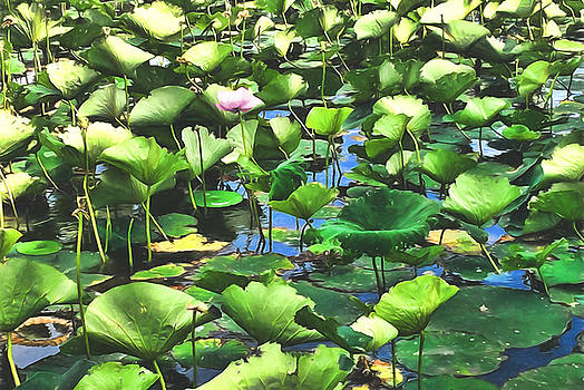 Lotus Blooms Among The Pads by Cindy Boyd