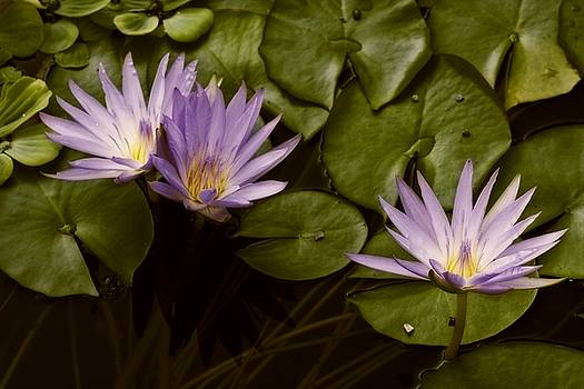 Lotus Blooms by Dania Reichmuth