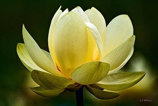 Christopher Holmes - Lotus Blossom