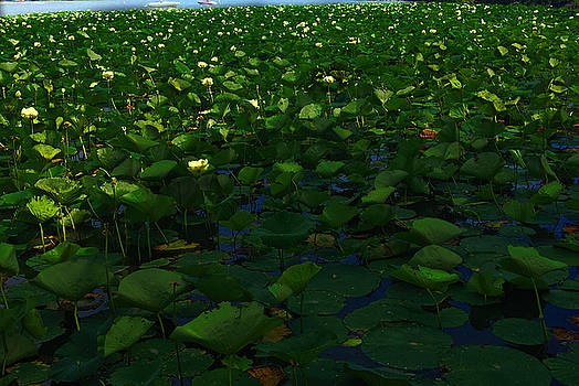 Lotus Blossoms on Nippersink Lake by Cindy Boyd