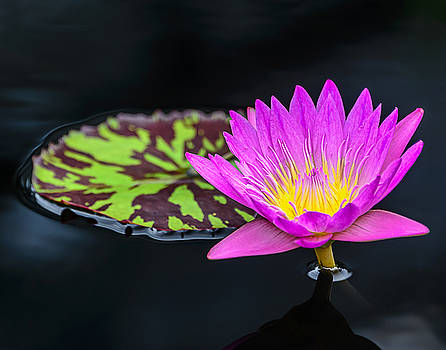 Lotus Flower and Pad by Robert Mitchell