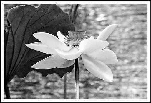 Lotus flower in black and white by Geraldine Scull