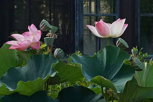 Byron Varvarigos - Lotus Lovelies