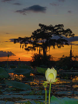 Lotus On Da bayou by Kimo Fernandez