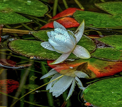 Lotus Reflection by Jerry Cahill