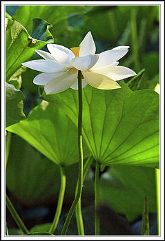Lotus standing tall  by Geraldine Scull