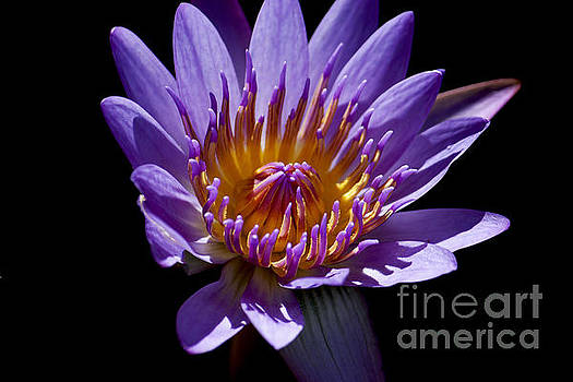 Lotus Water Lily by Ivete Basso Photography