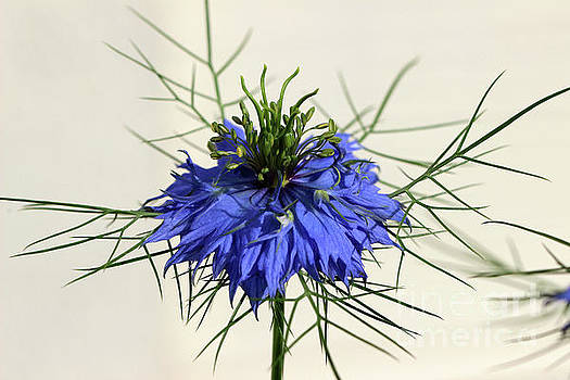 Love-in-a-Mist 2016 by Karen Adams