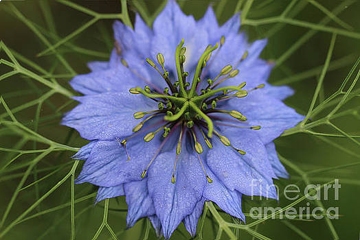 Love in a Mist Flower 2016 by Karen Adams