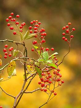 Lovely Autumn Berries  by Lori Frisch
