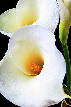 Lovely Beautiful Calla lily by Garry Gay