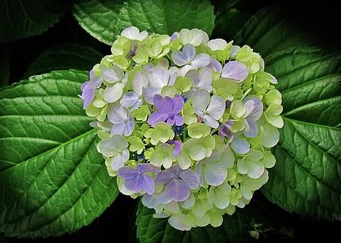 Lovely Hydrangea by Cynthia Guinn