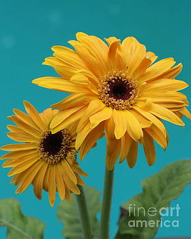 Lovely in Yellow - Gerbera Daisies by Dora Sofia Caputo Photographic Art and Design