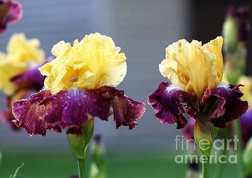 Lovely Irises  by Yumi Johnson