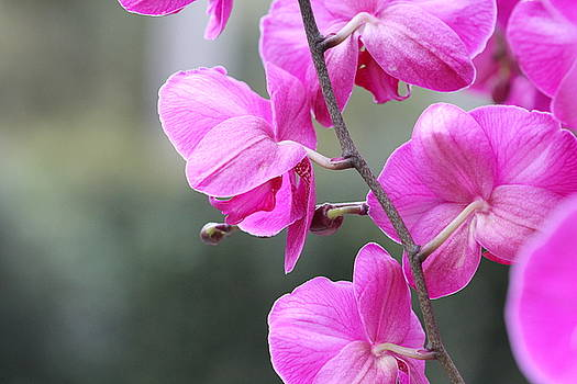 Lovely Orchids by Chayla Brown