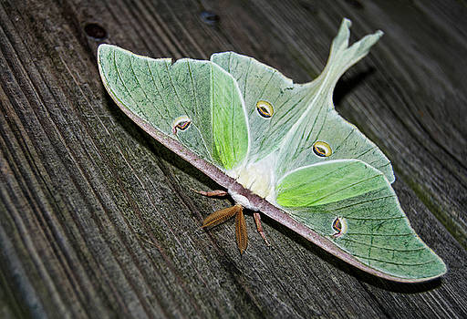 Luna Moth by Amber Flowers