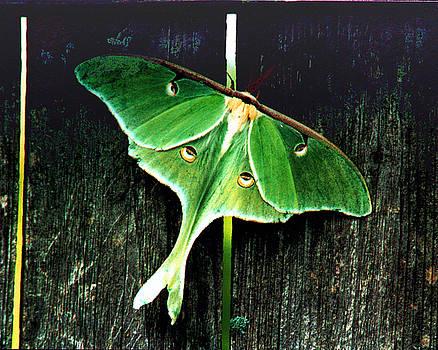 Luna Moth by Rex E Ater