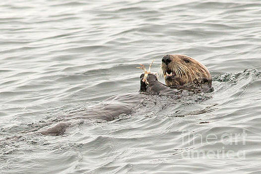 Lunch for the Sea Otter by Natural Focal Point Photography