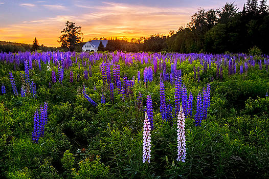 Lupine Field Sunset by Shell Ette
