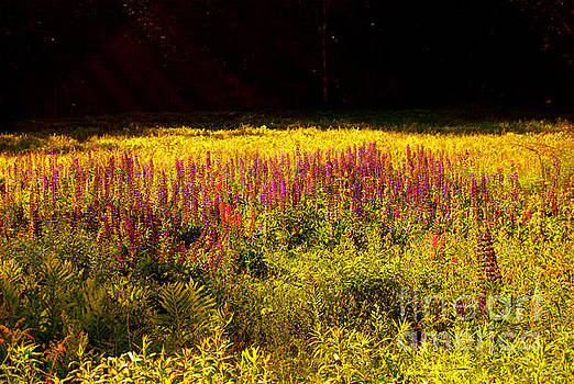 Lupine In A Sunny Pasture by Eunice Miller