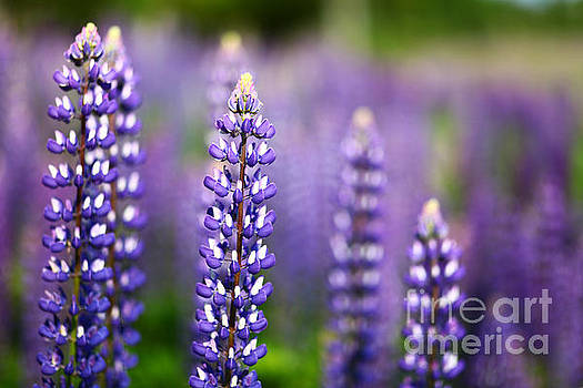 Lupine North Shore Minnesota 1 by Wayne Moran