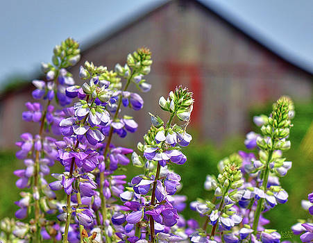 Lupines Before the Barn by Rick Lawler