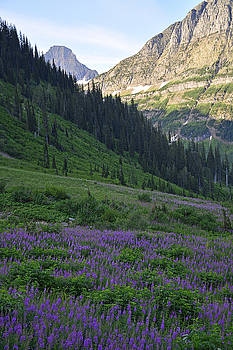 Lupines in Glacier National Park by Bruce Gourley