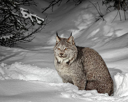 Lynx in Morning Light D2428 by Wes and Dotty Weber