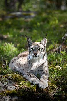 Lynx by Yngve Alexandersson