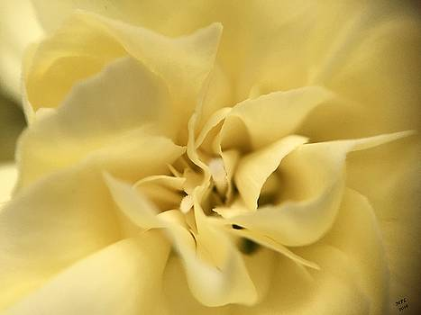 Macro Yellow Rose by Marian Palucci-Lonzetta