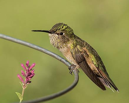Mad Hummingbird by Lois Lake