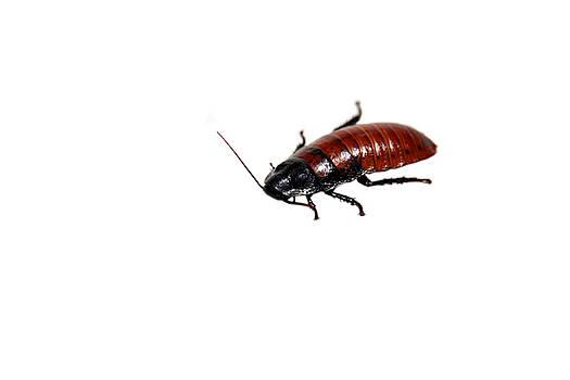 Michael Ledray - madagascar hissing cockroach
