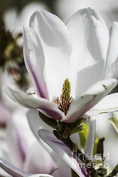 Steve Purnell - Magnificent Magnolia