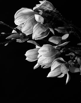 Magnolia black and white by Craig Perry-Ollila