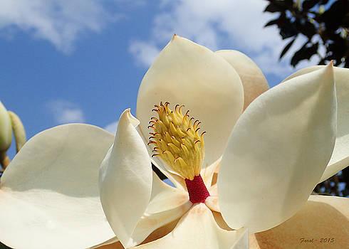 Magnolia Blossom by Farol Tomson